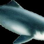 delfin baiji o de rio chino