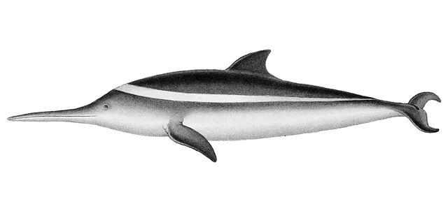 delfin franciscana